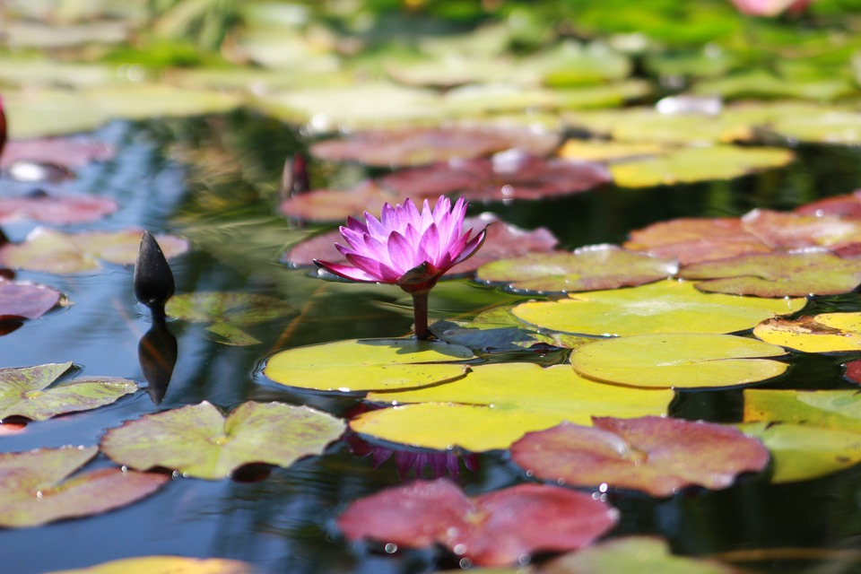 Water Lily, Purple, Nymphaeaceae, Aquatic