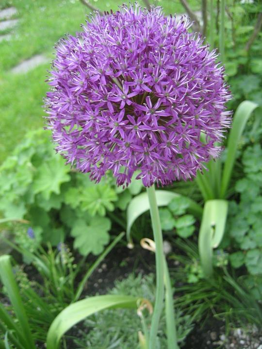 Alium, Onion Plant, Purple, Garden, Plant, Flower, Leek