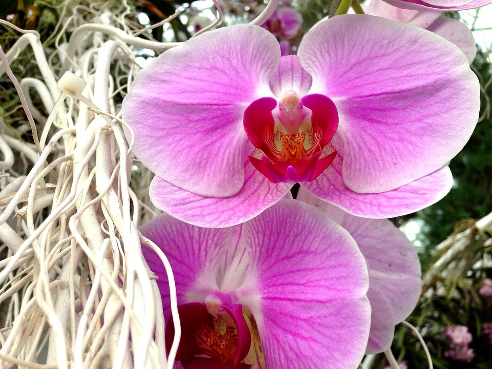 Flower, Orchid, Purple, Pink, Tropical, Floral, Bloom