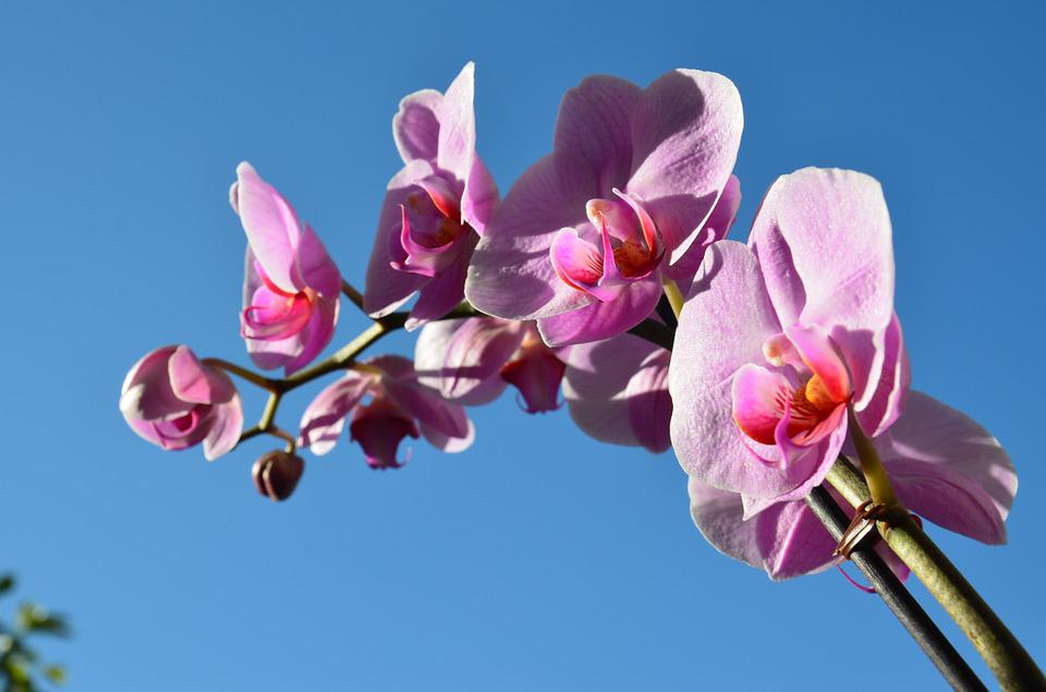 Orchid, Flower, Spring, Purple, Pink