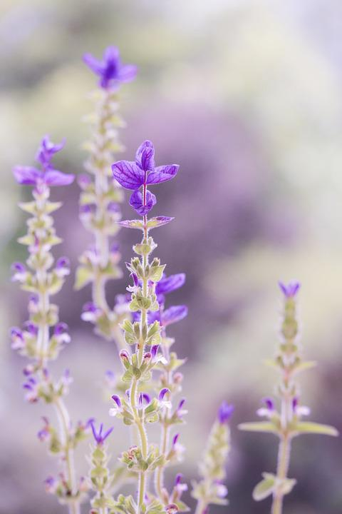 Purple, Pastel, Soft, Nature, Flower, Sage, Soft-focus