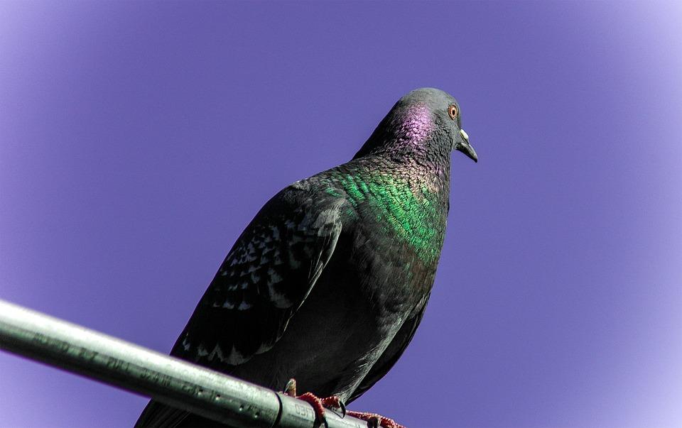 Pigeon, Bird, Fly, Avian, Purple, Sky, Pearlmutt, Air