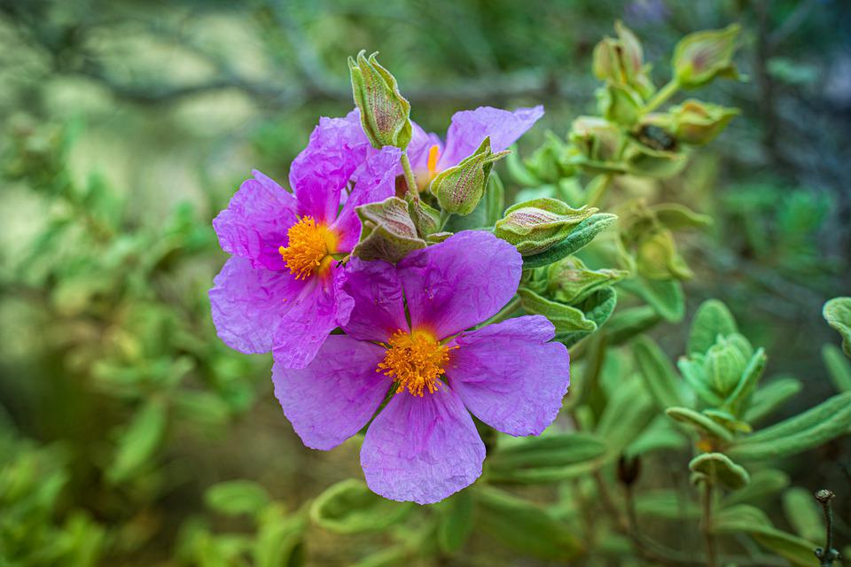 Purple Flowers, Flowers, Plants, Purple Petals, Bloom