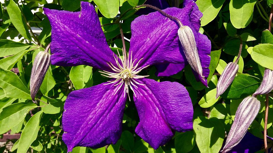 Clematis, Purple, Petals, Flower, Four, Green, Nature