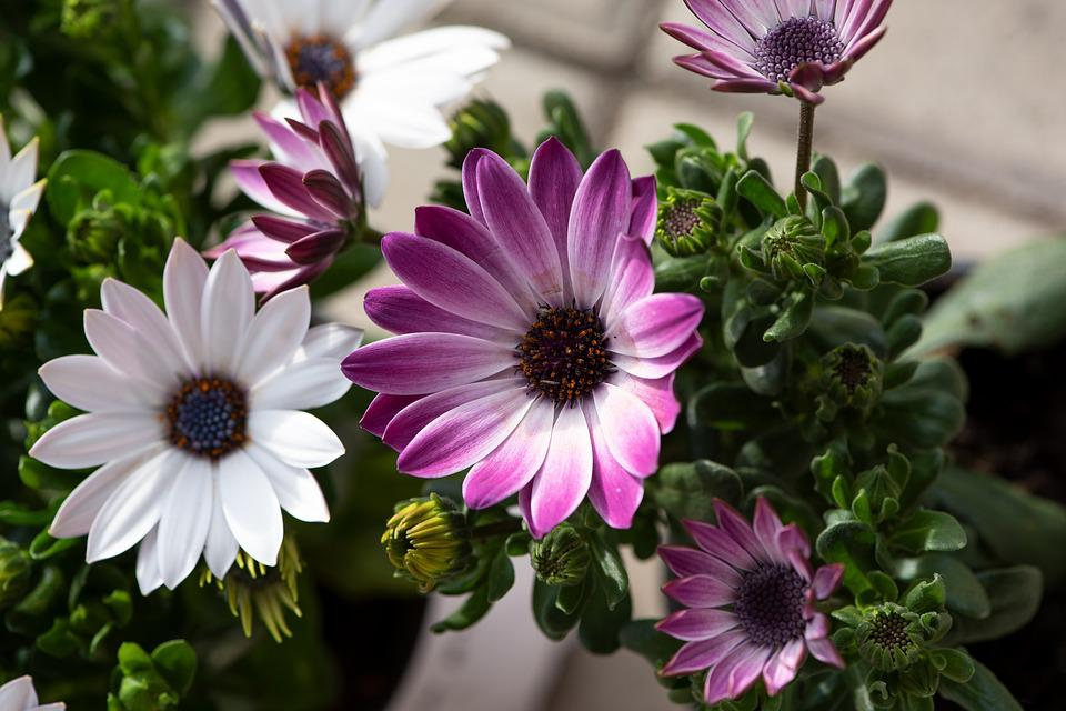 Cape Daisies, Flowers, White, Purple, Pink, Plant