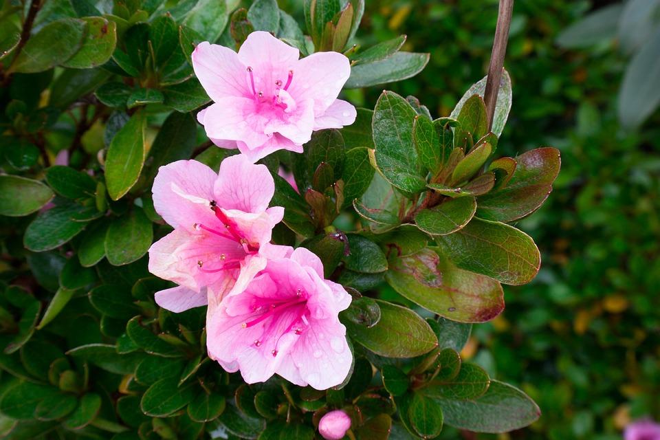 Azalea, Blossom, Bloom, Pink, Bush, Close, Purple Pink