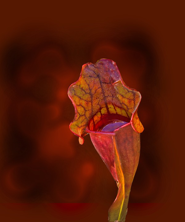 Sarracenia Purpurea, Purple Pitcher Plant, Plant