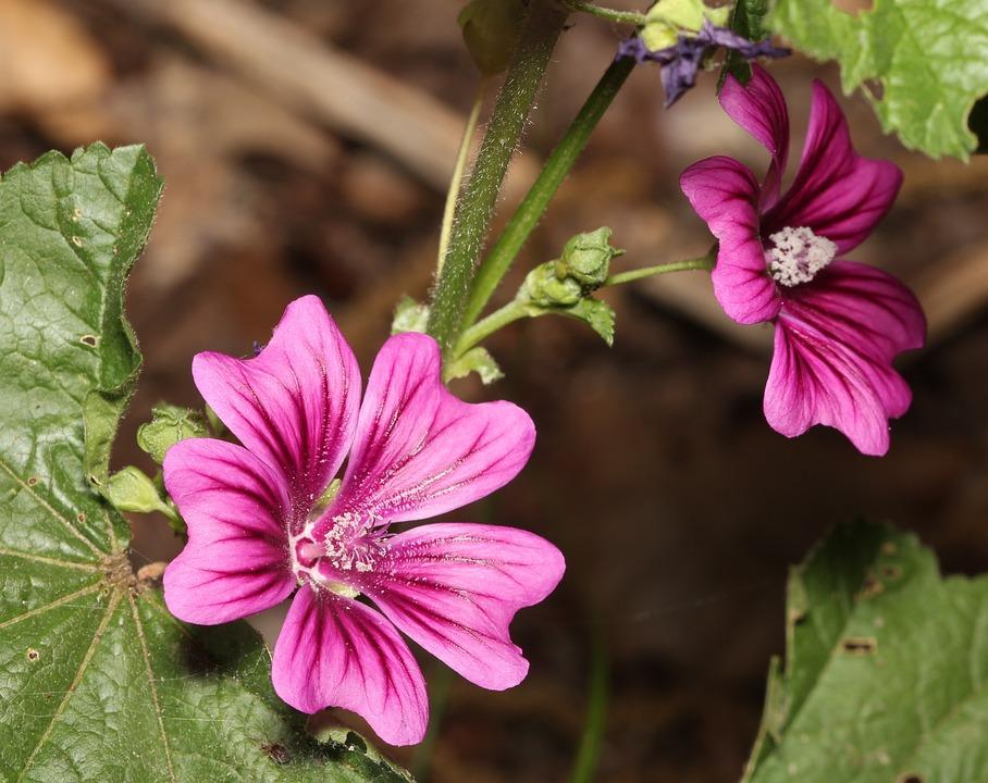 Flower, Mallow, Purple, Blossom, Plant, Petal, Garden