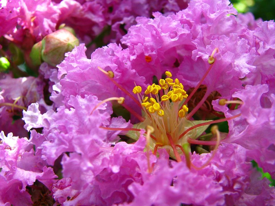 Coleus Forskohlii, Plant, Purple, Bignoniaceae, Flower