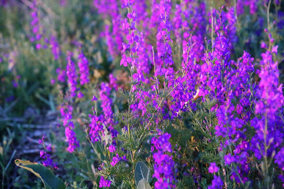 Flowers, Herbs, Plant, Spring, Color, Purple, Pink