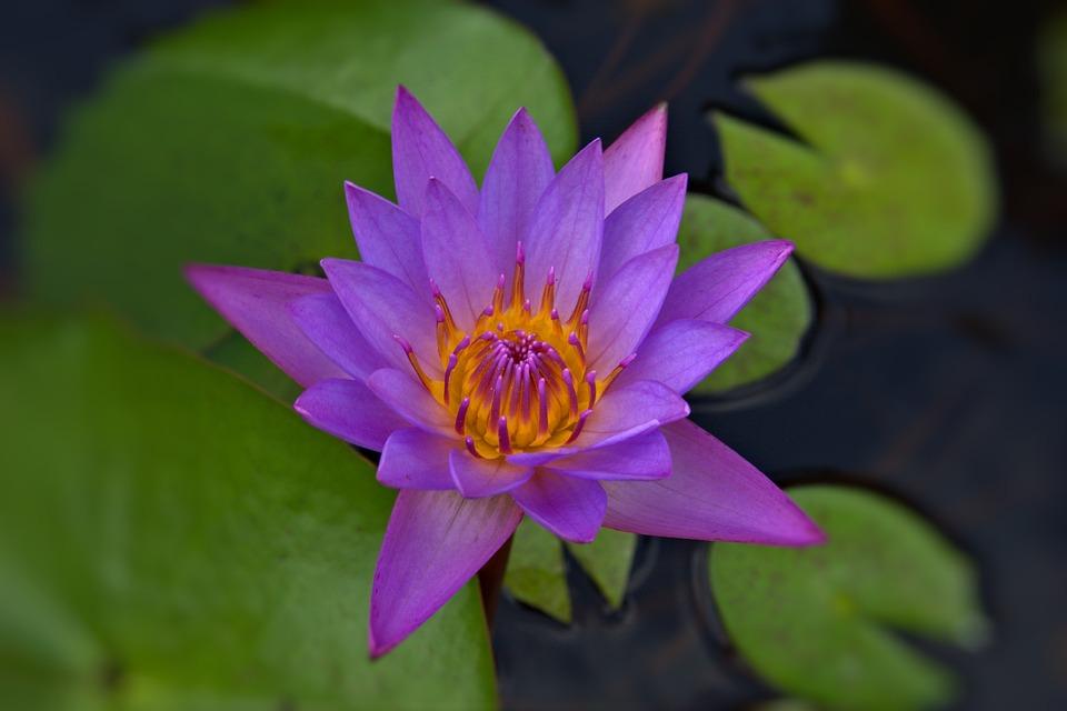 Water Lily, Flower, Violet, Purple, Pond, Bloom, Nature