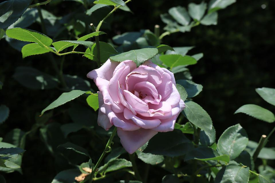 Natural, Flowers, Rose, Purple