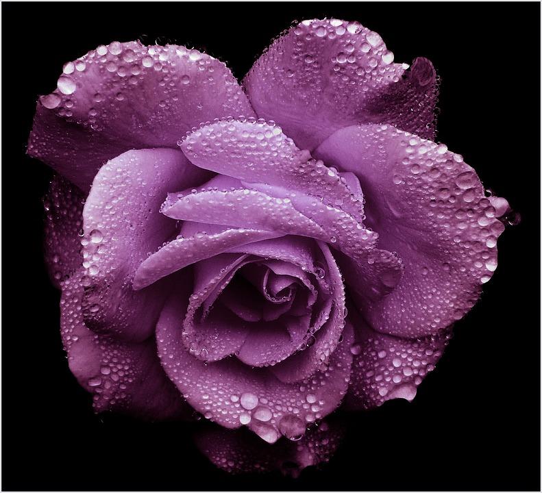 Rose, Purple, Romantic, Blossom, Bloom, Noble