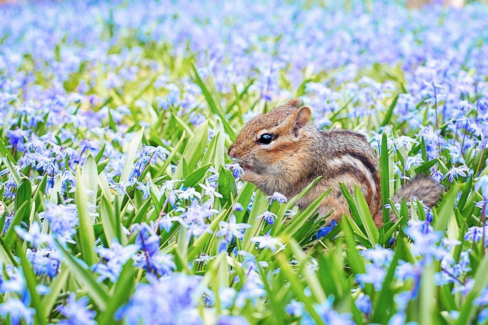 Chipmunk, Spring, Field, Meadow, Flowers, Purple, Blue