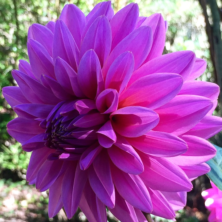 Dahlia, Blossom, Bloom, Purple, Color, Flower, Spring