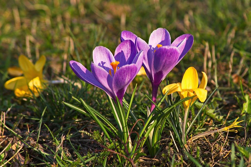 Crocus, Spring, Flower, Purple, Colored