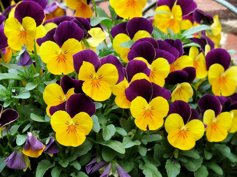 Violets, Flowers, Purple, Yellow, Spring, Garden