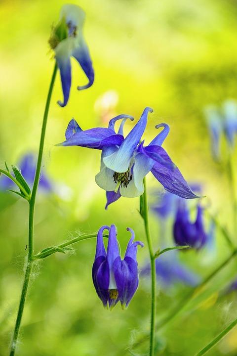Flower, Haseki Earrings, Purple Star, Plant, Blooming