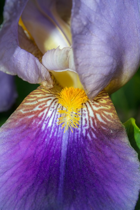 Iris, Stamp, Pistil, Purple, Violet, Yellow, Structure