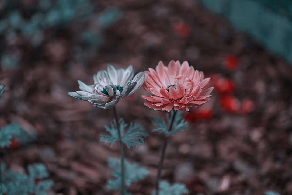 Flowers, Garden, Summer, Nature, Plant, Pink, Purple