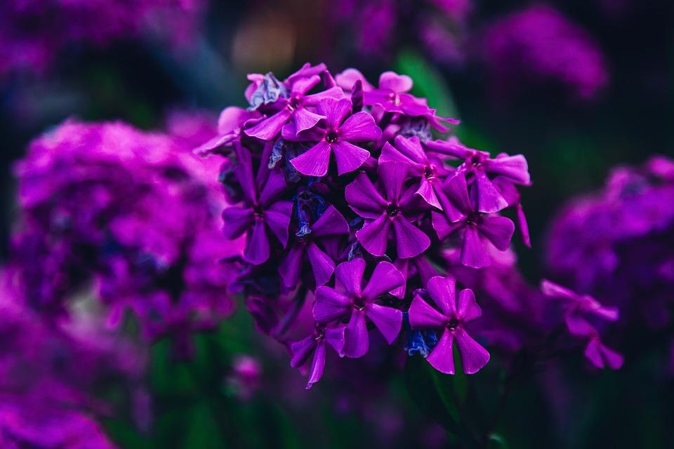 Nature, Focus, Garden, Flower, Purple, Spring, Summer
