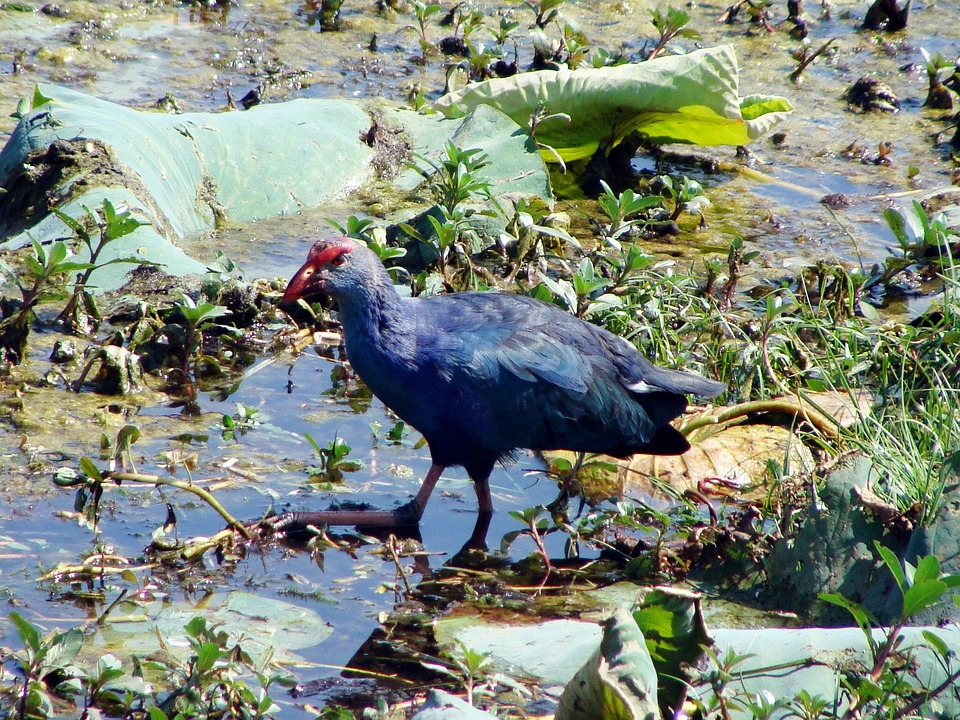 Purple Swamphen, Purple Moorhen, Porphyiro Porphyiro