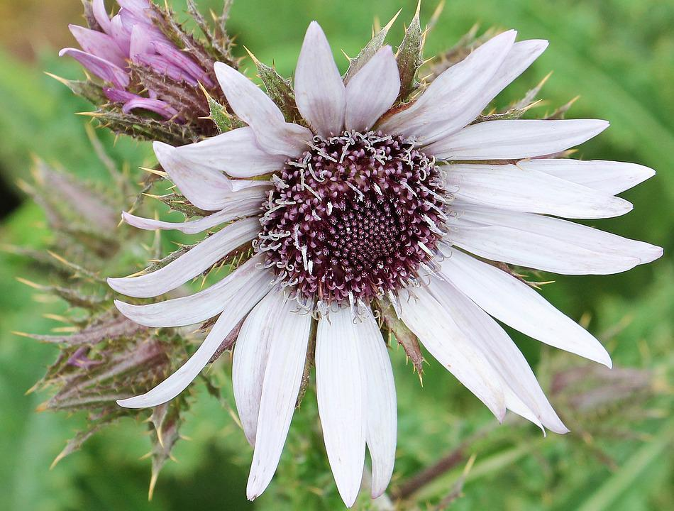 Purple Thistle, Berkheya Purpurea, Thorn Flower