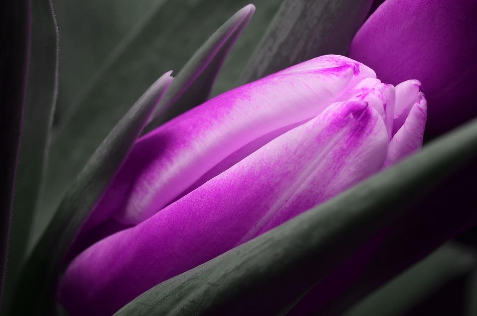 Tulip, Purple, Flower