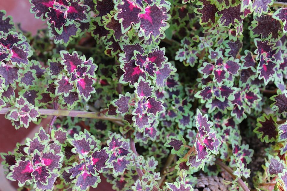 Garden, Plant, Nature, Purple, Botany, Rosa, Violet