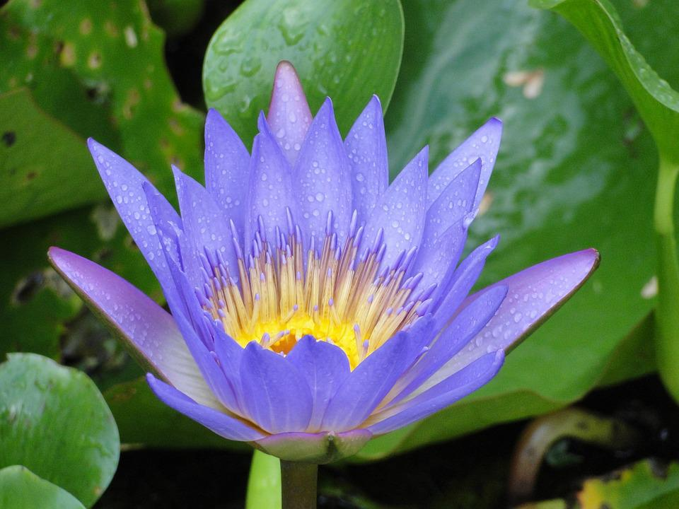 Water Lily, Purple, Ponds