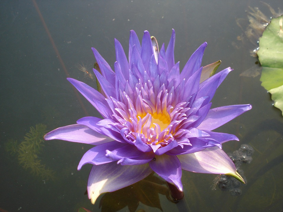 Lotus, Water Lily, Flower, Aquatic, Purple, Violet