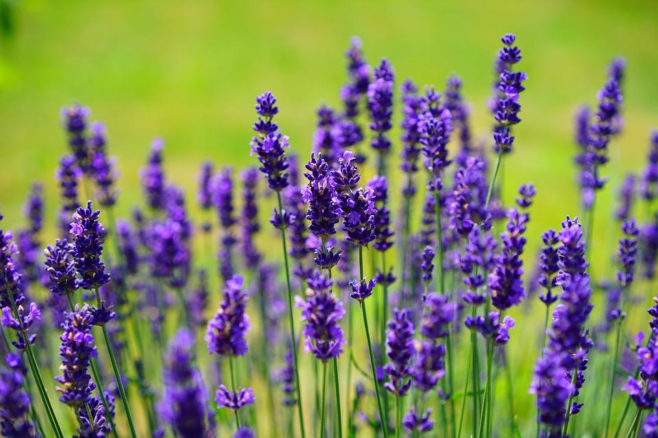 Lavender, Flowers, Purple, Wild Plant, Wildblue