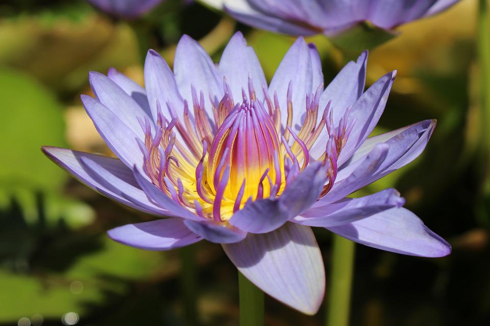 Free Photo Purple Yellow Aquatic Water Lily Nymphaea Flower Max Pixel