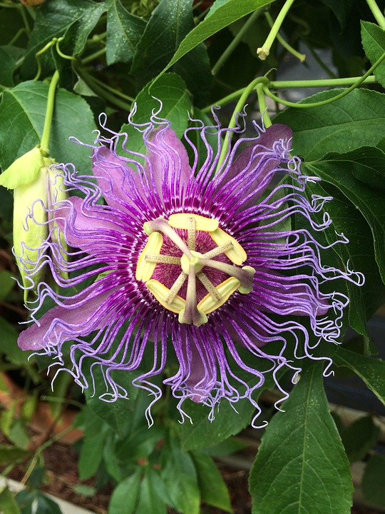 Flower, Purple, Passiflora Caerulea, Passion, Yellow
