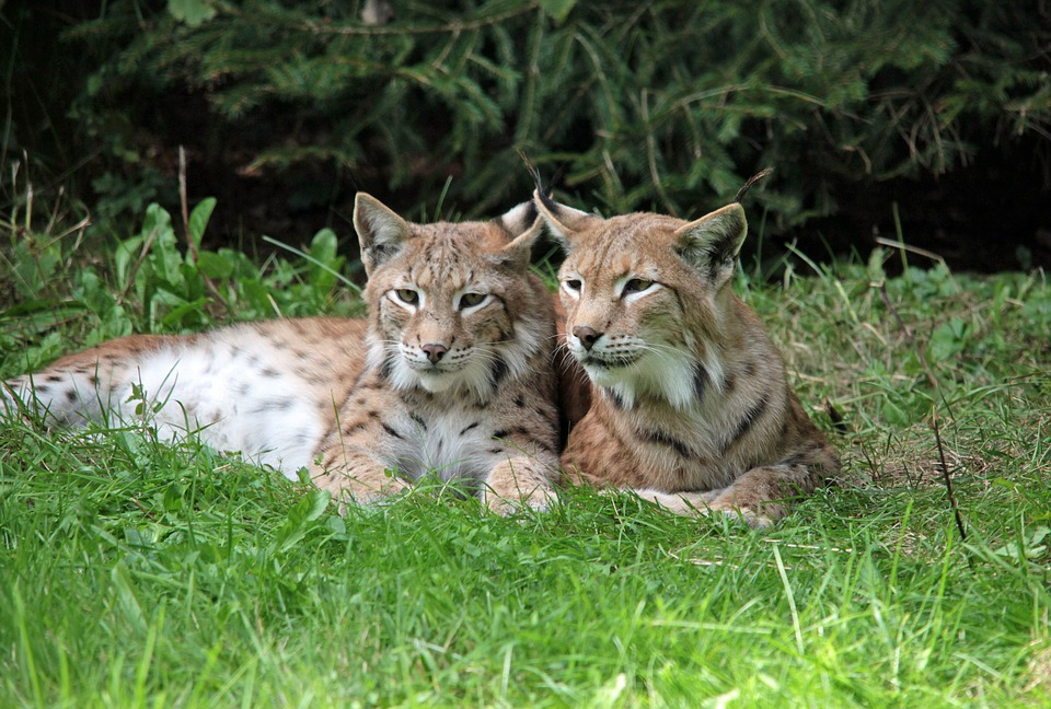Lynx, Young Animals, Rest, Purry, Sweet, Doze