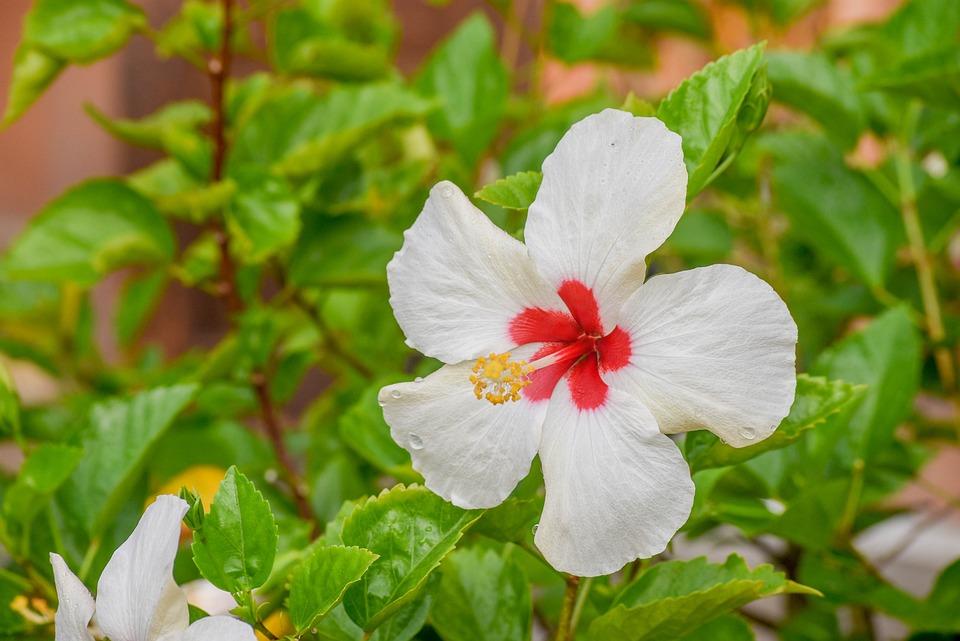 Hibiscus, White, Bunga Raya, Putih, Bunga Kebangsaan