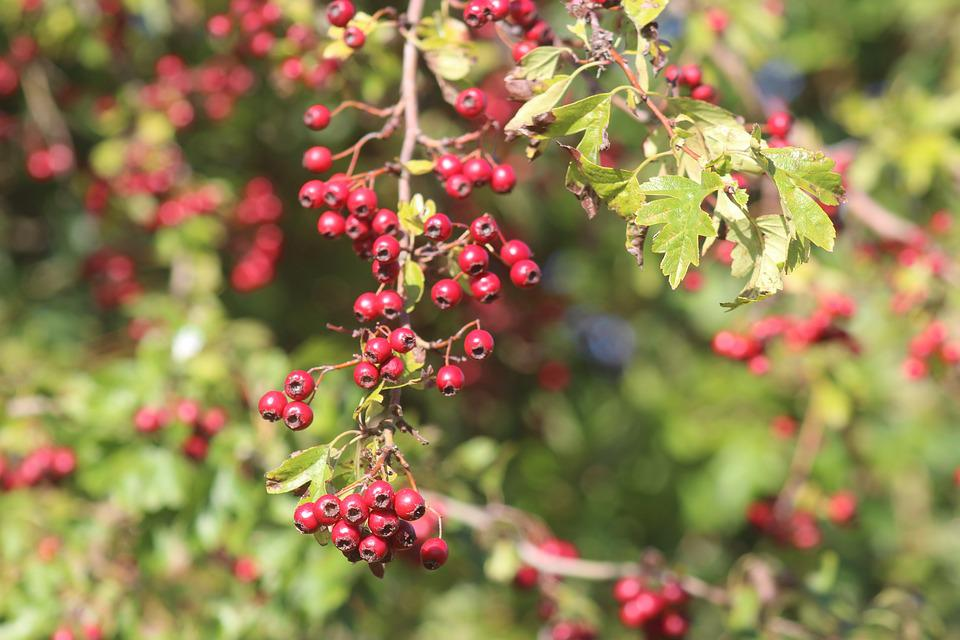 Nature, Plant, Berries, Pyracantha