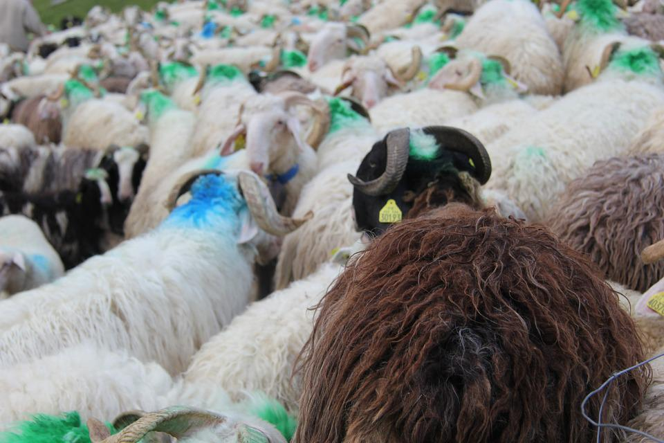 Pyrénées, Sheep, Herd