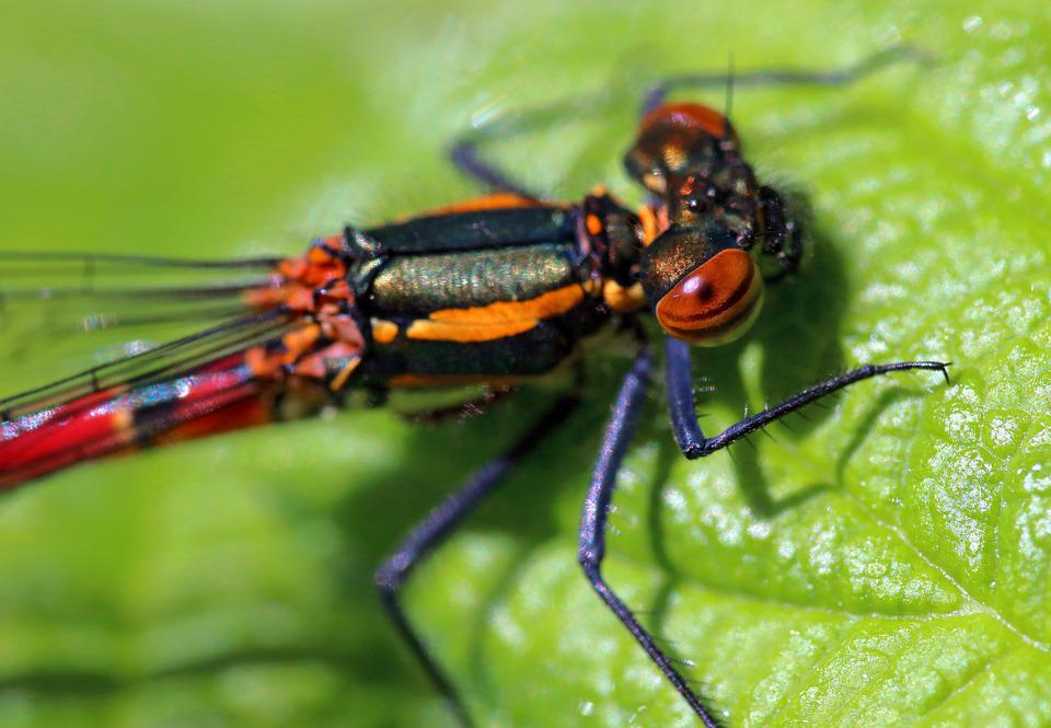 Pyrrhosoma Nymphula, Large Red Damselfly, Insect