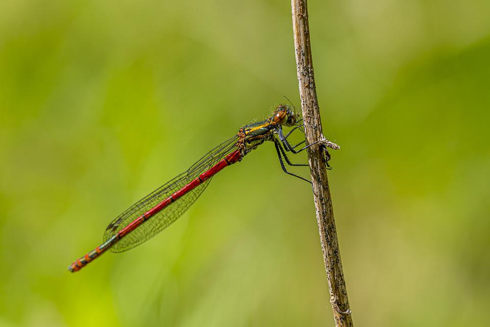 Large Red Damselfly, Pyrrhosoma Nymphula, Dragonfly