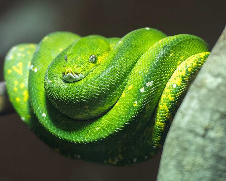 Python, Green Tree Python, Snake, Reptile, Nature, Wild