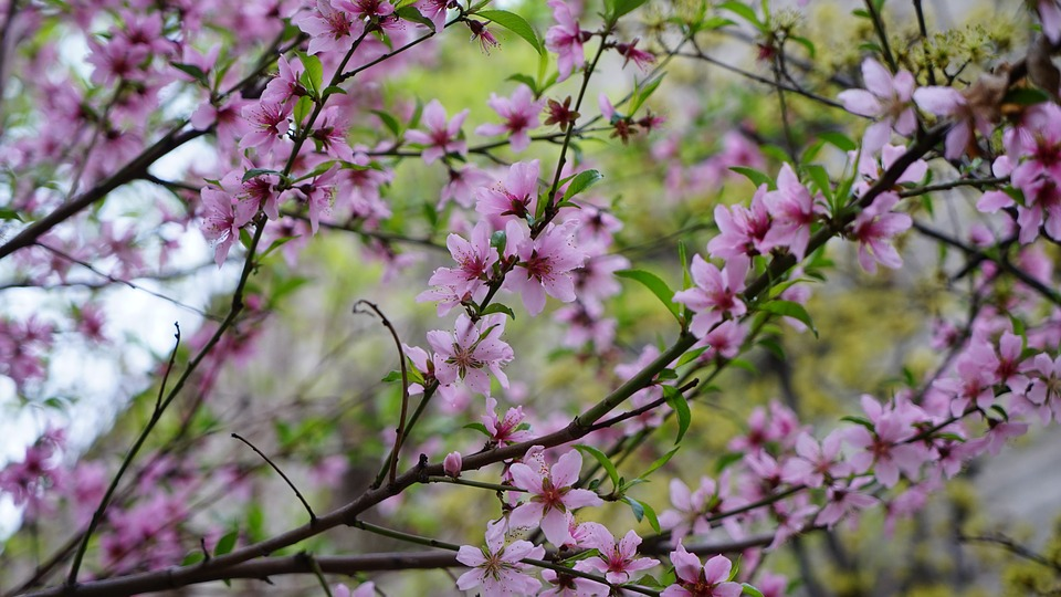 Flowers, Wood, Quarter, Cherry Tree, Plants, Spring