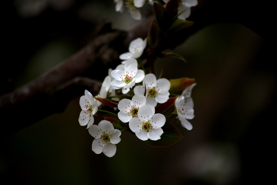 Flowers, Wood, Quarter, Plants, Pear Flower, Orchard