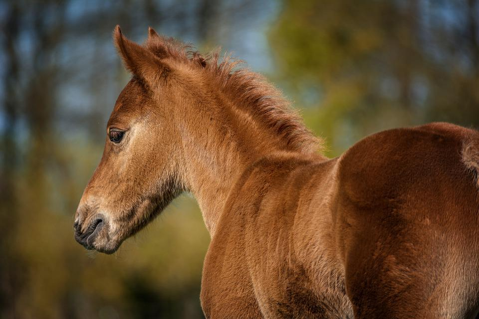 Foal, Horse, Quarterhorse, Pasture, Animal