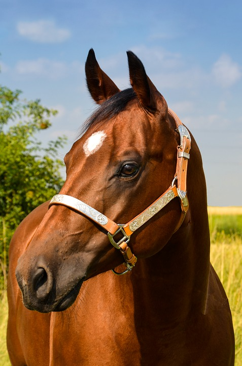 Horse, Quarterhorse, Western Horse, Head, Saddle Horse