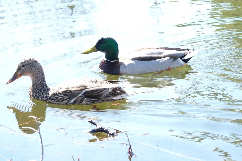 Canard, Couple, Quebec