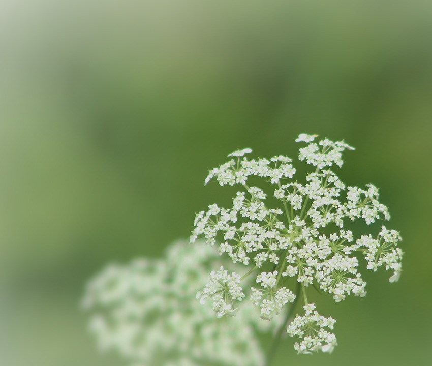 Queen Anne Lace, Green, Flower, Bloom, Woods, Plant