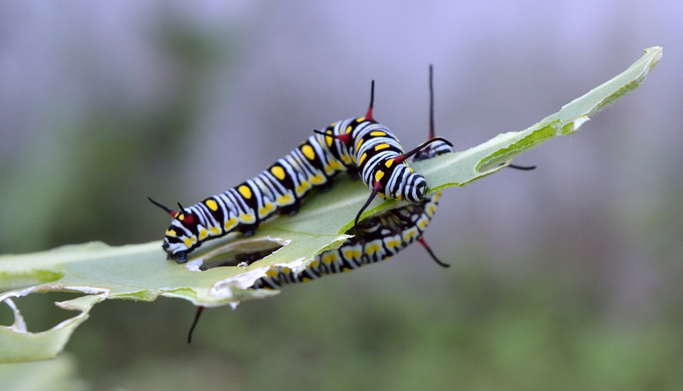Danaus, Gilippus, Queen, Butterfly, Caterpillar