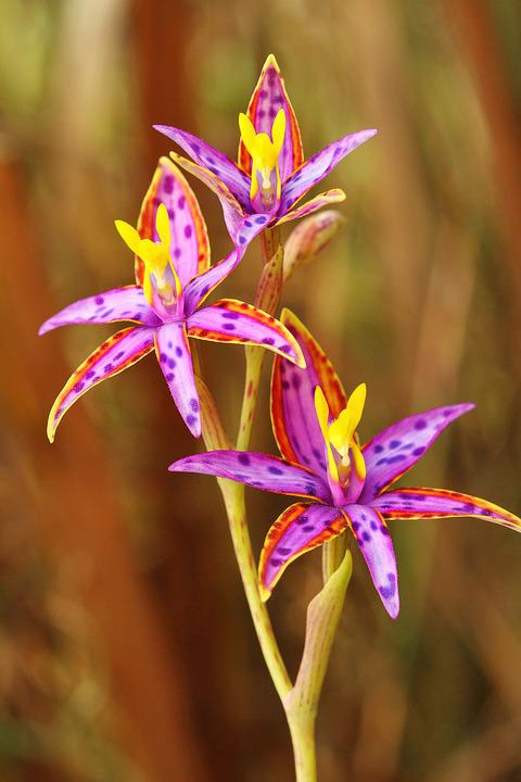 Three Heads, Queen Of Sheba, Thelymitra Variegata