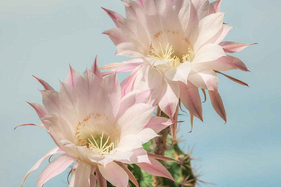 Queen Of The Night, Cactus, Blossom, Bloom, Pink
